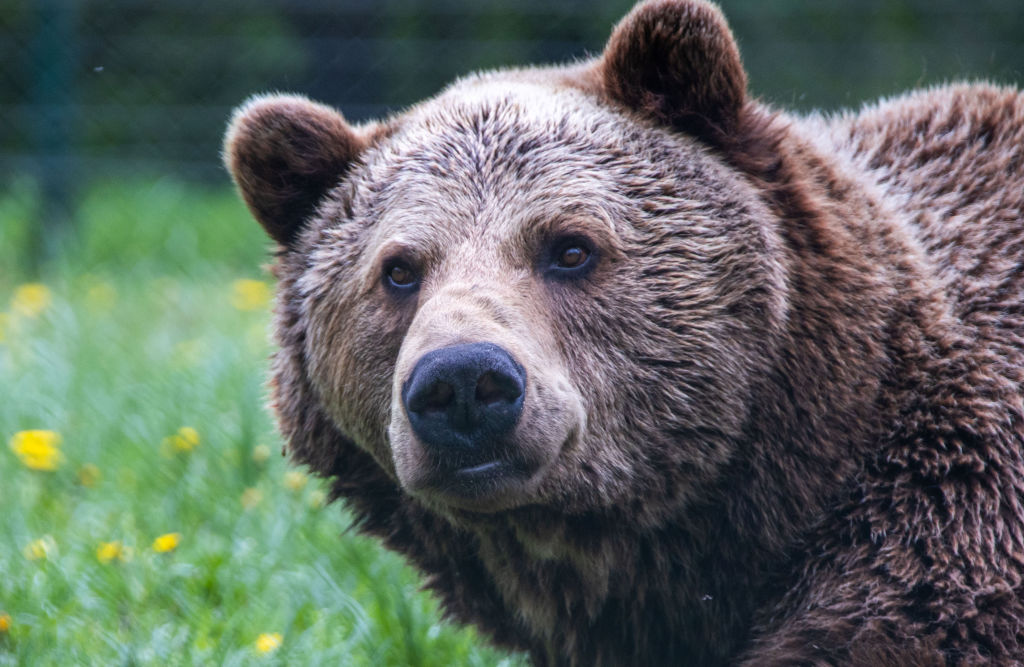 A brown bear is show in this May 12, 2021 file photo.