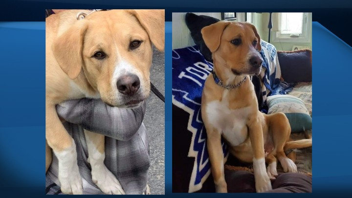 The Mastiff/Lab mix called Jake was last seen on May 15 at about 10:30 p.m. in the 10th Line and Purvis Street area.