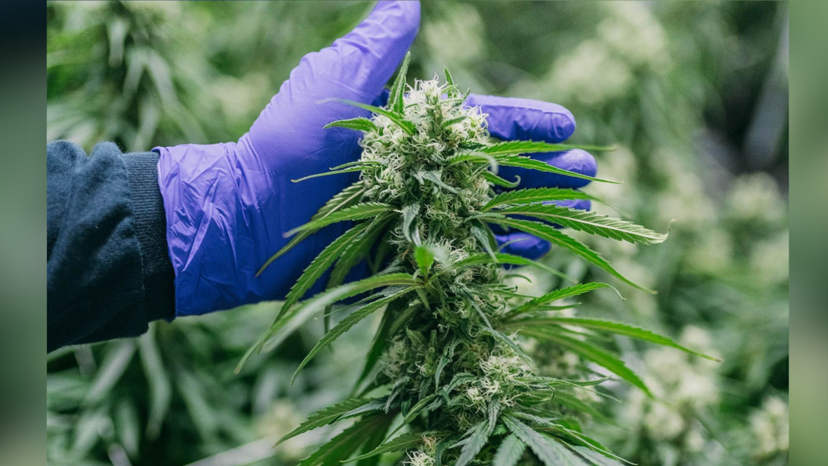 A 184-acre farm in Simcoe, Ontario is Canada's first cannabis producer permitted to sell at the farm gate.