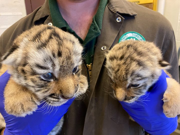 The cubs were born after their mother, an Amur tiger nicknamed Mazy, was paired with the male tiger Vasili through a program meant to promote conservation.