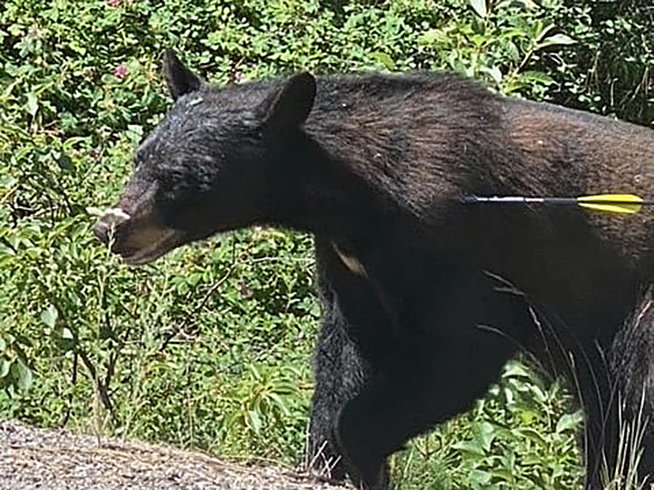 A photo of a wounded bear with an arrow in its left shoulder. Residents of Lake Country are being asked to be on the lookout for the bear.