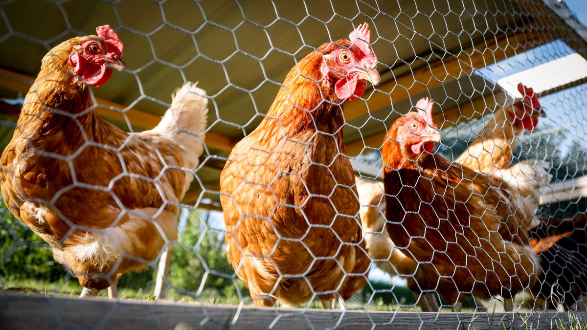 The City of Kawartha Lakes has launched a backyard chicken coop pilot project.