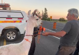 Continue reading: Loose llama causes brief partial closure of Highway 400 southbound lanes near King City