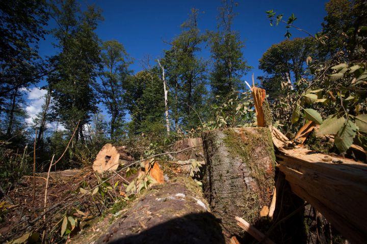 Trees that were recently cut down by Kinder Morgan workers are seen in the Burnaby Mountain Conservation Area, in Burnaby, B.C., on Wednesday September 10, 2014.