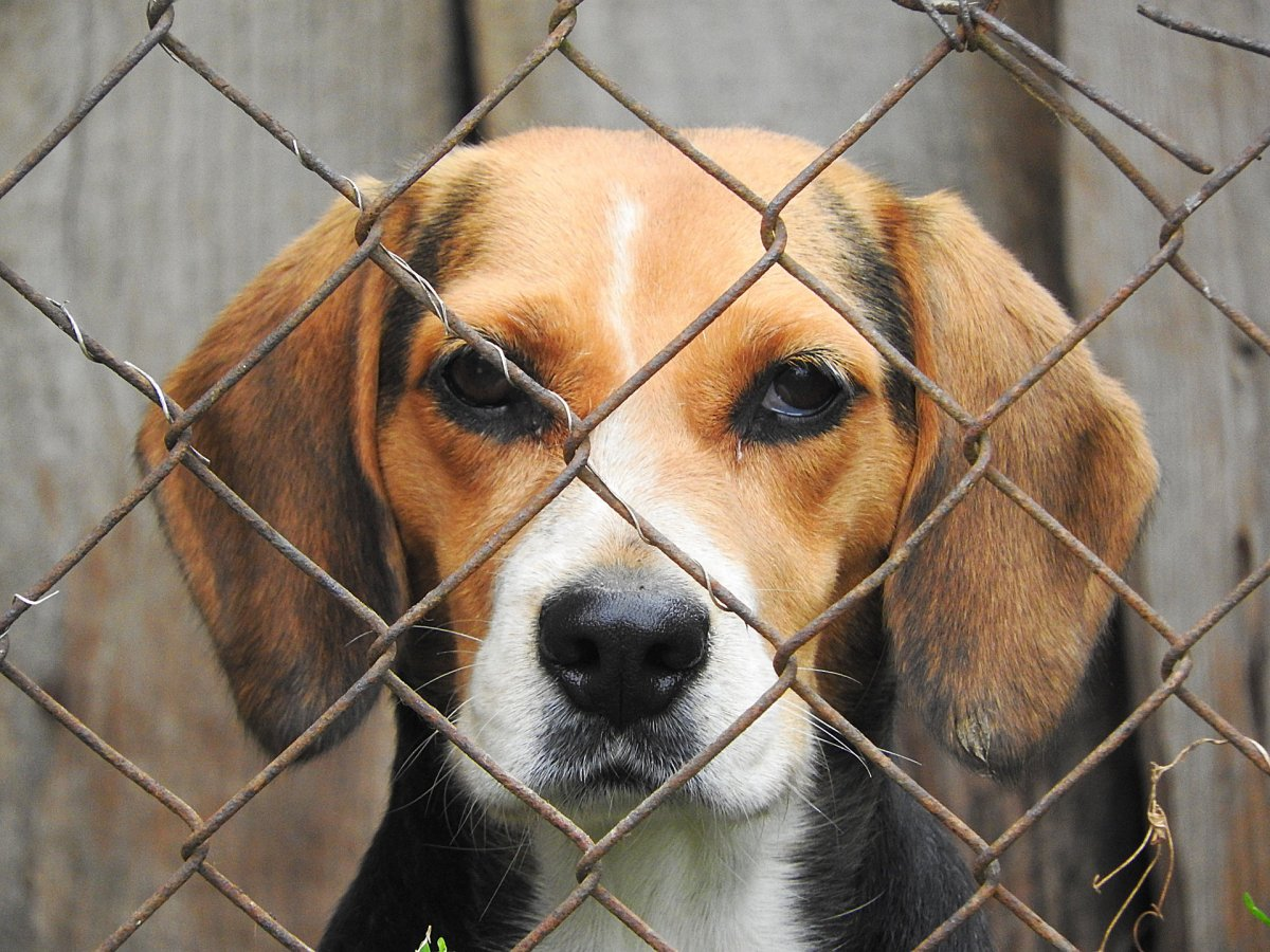 Beagle stock image (not actual picture of dogs taken).