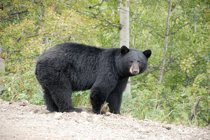 A file image of a black bear. Police in Lindsay are investigating reports of a black bear in the north end of town.