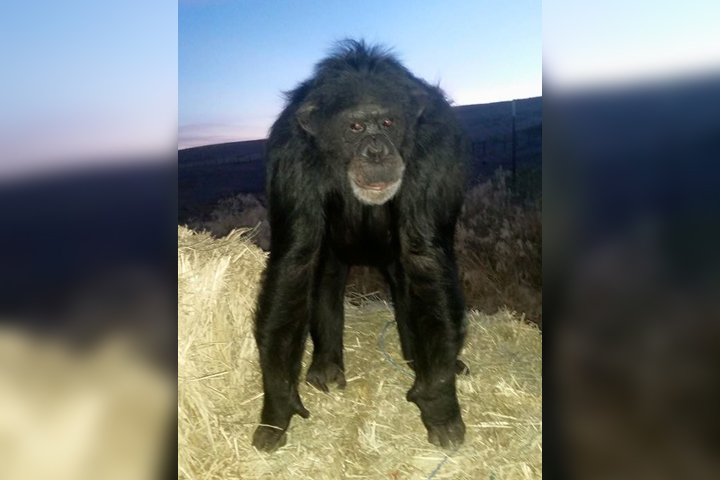 A chimpanzee named Buck is shown at a horse rescue in Pendleton, Ore., in this 2015 file photo.