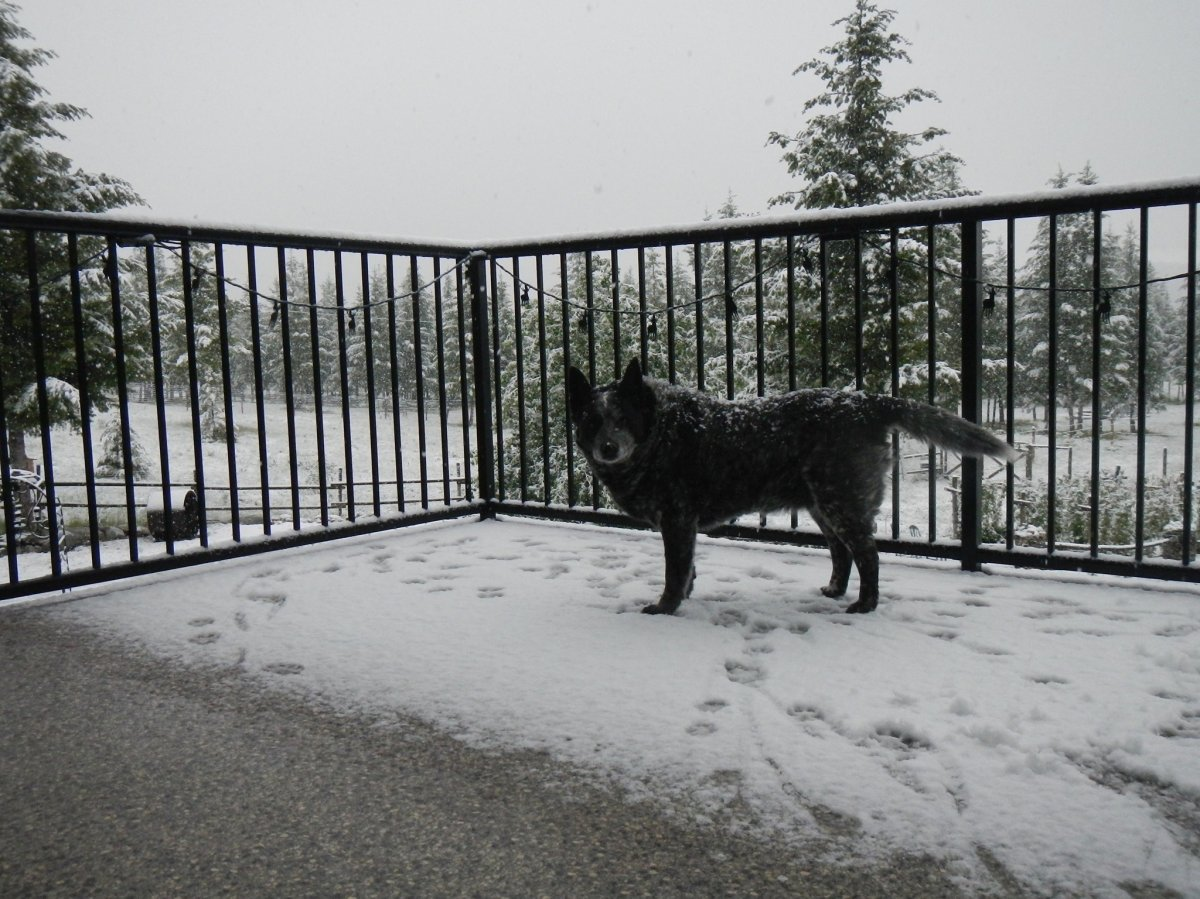 A surprise snowfall in early June even caught Hilda Reimer's dog off-guard at Anarchist Mountain near Osoyoos, B.C., on Monday, June 7, 2021.