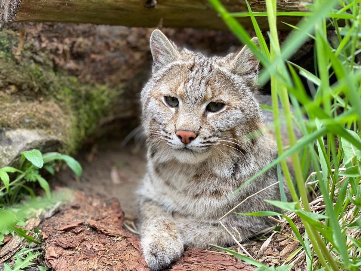 Brett Cody, the four-year-old bobcat, has returned to the North Grenville, Ont., zoo that he went missing from in early June.