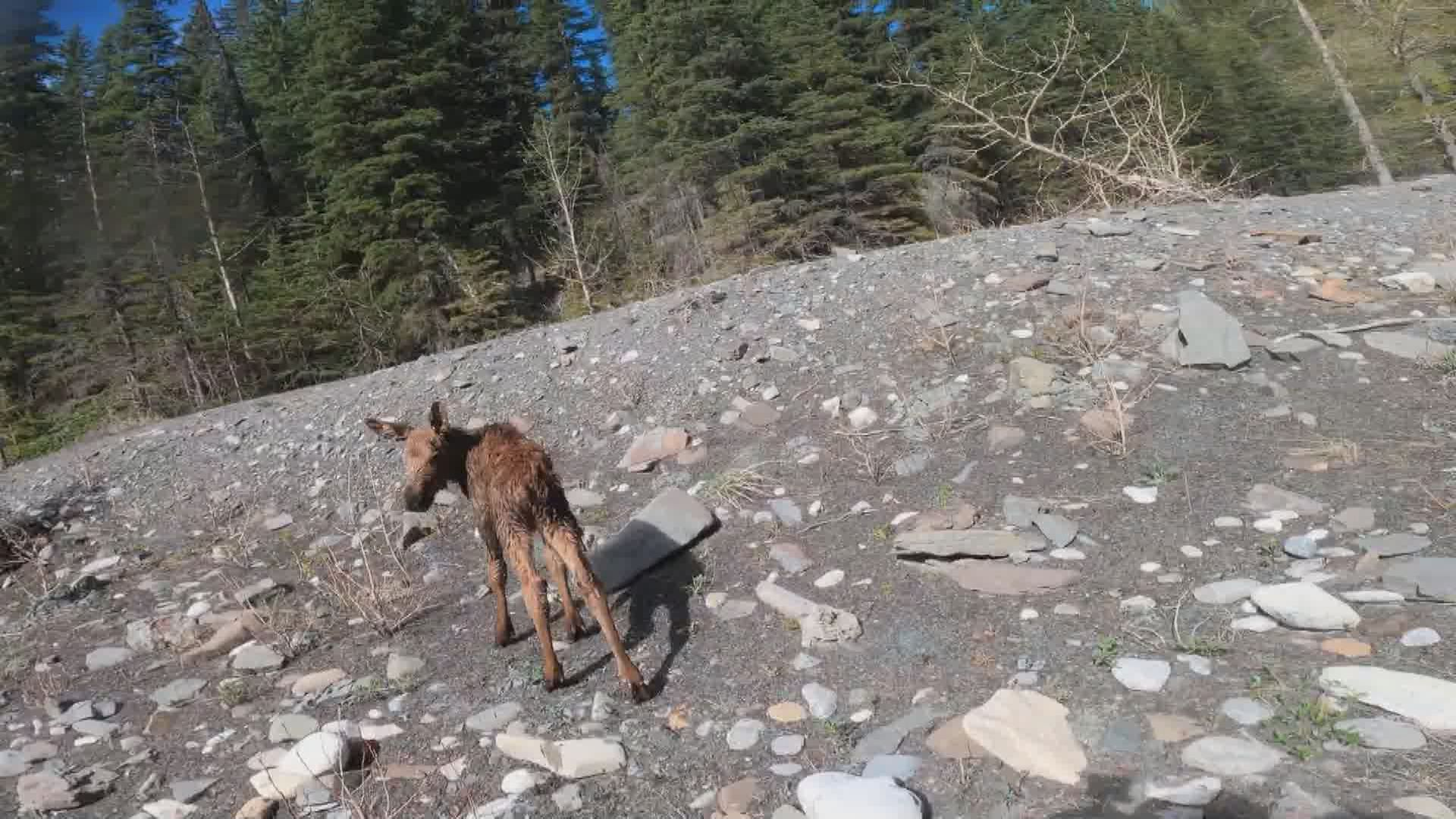 Mindy the moose after being rescued.