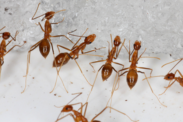 Yellow crazy ants eat a piece of bait on Johnston Atoll in this handout photo.