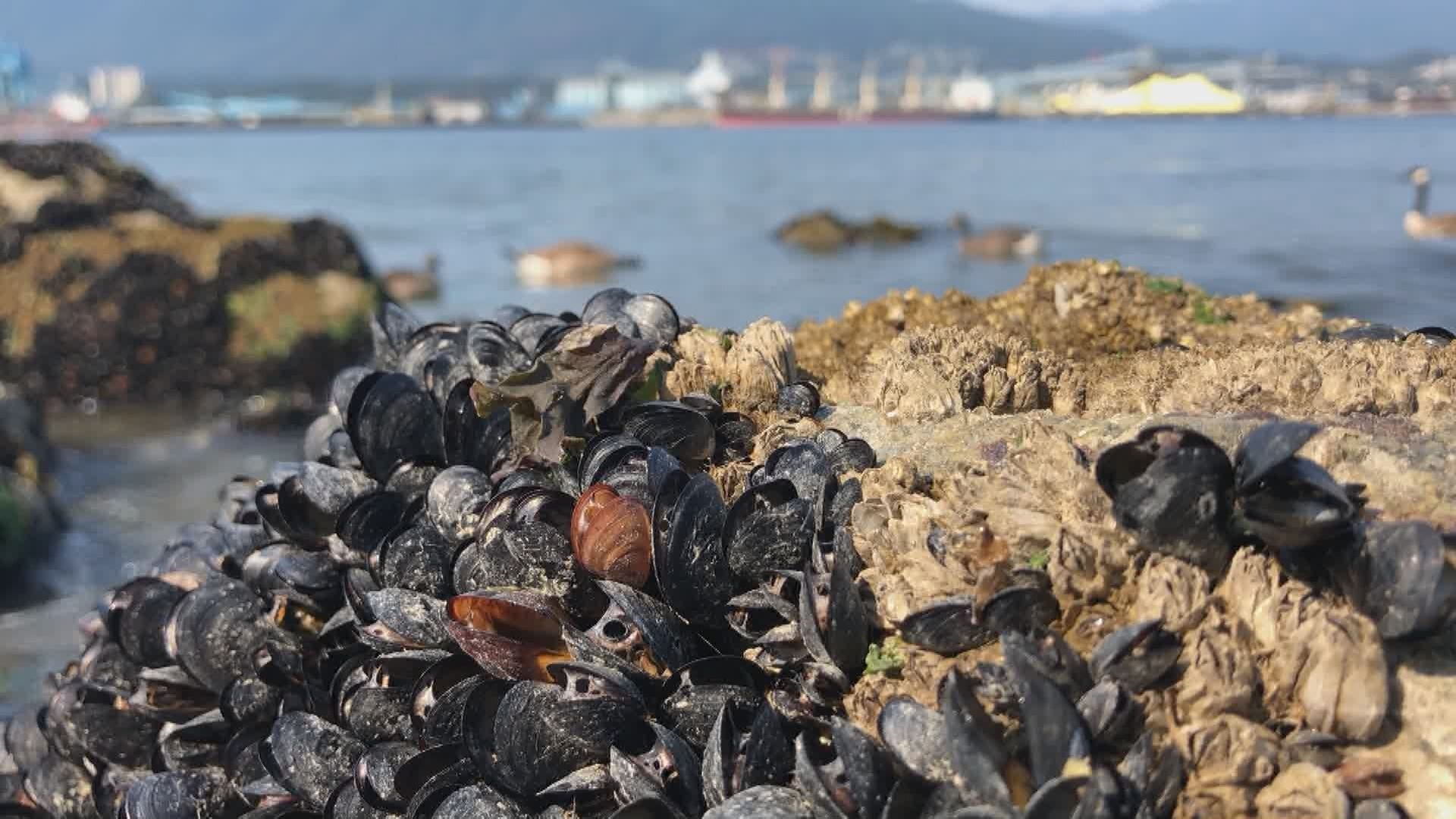 Up to a billion seashore creatures were cooked to death during B.C. heat  wave, researcher says - BC | Globalnews.ca