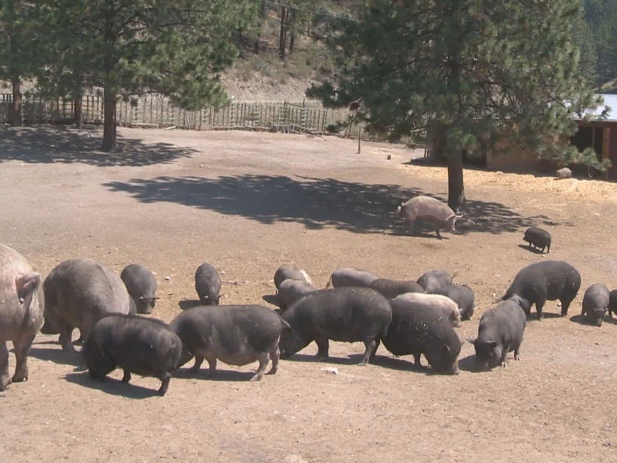After a recent evacuation alert, the Little Oink Bank Pig Sanctuary near Oliver is asking for help in the event another evacuation alert or order is issued.