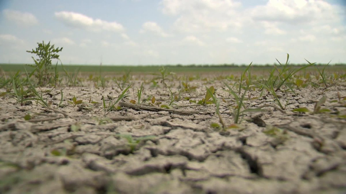 Saskatchewan Agriculture said estimated yields are expected to be well below average as heat, lack of moisture impacts crop conditions.