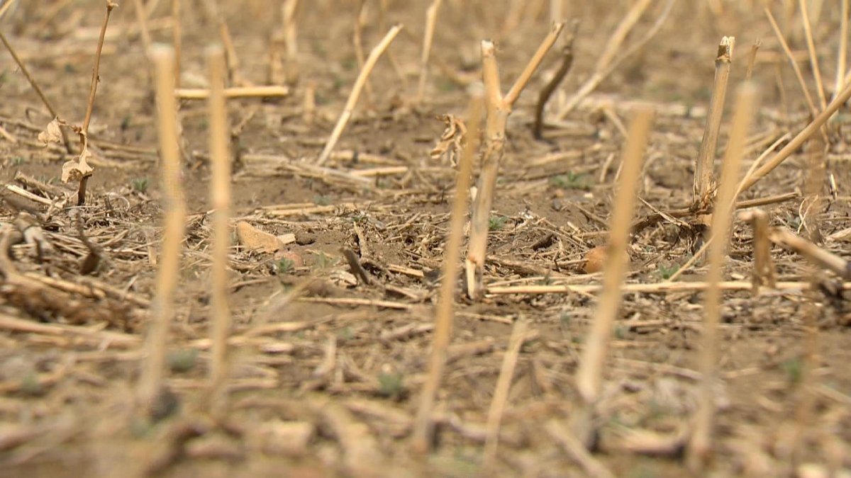 Saskatchewan Agriculture said any rain received now in the province will help, but not improve yields as crops remain 'extremely stressed.'.