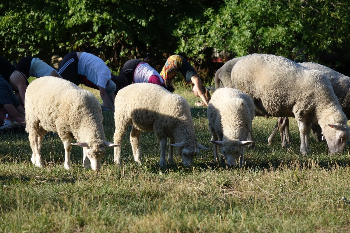 The sheep take part in a yoga class at Parc Maisonneuve in Montreal.