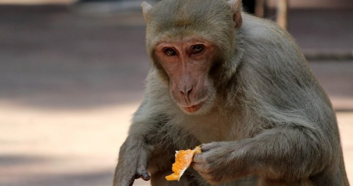 China reports its first human death from rare monkey B virus – National | Globalnews.ca