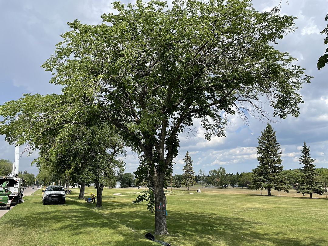 Starting Tuesday, crews will begin removing a tree infected with Dutch elm disease from Leif Erickson Park in Saskatoon.