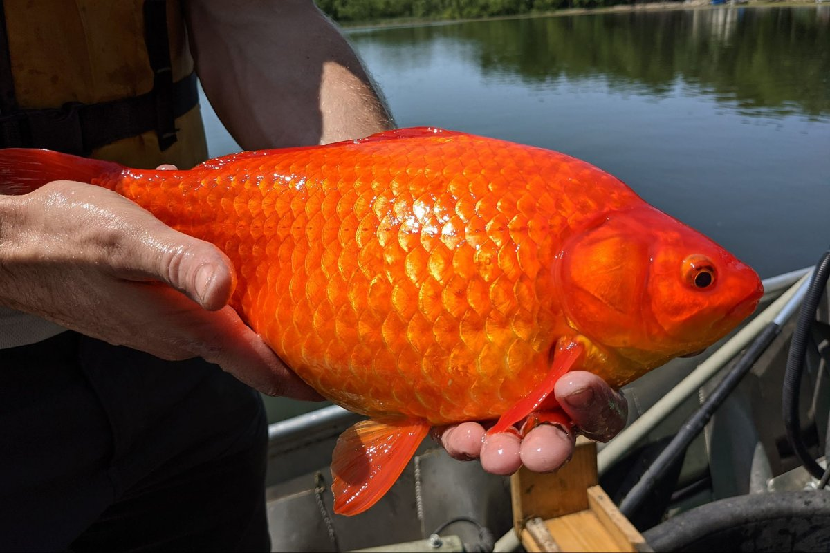 A giant goldfish is shown at Keller Lake, Min., in this photo released on July 9, 2021.