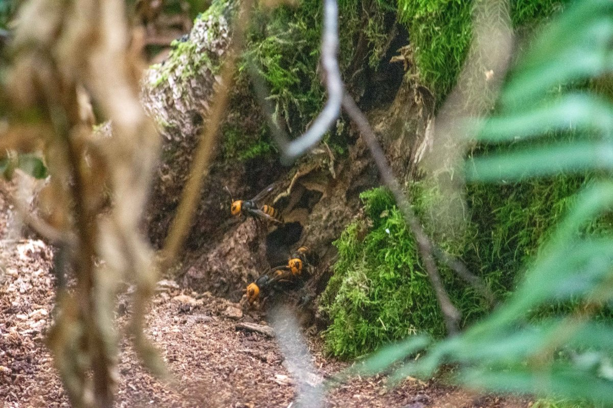 Asian giant hornets enter and leave the nest entrance at the base of a tree in rural Whatcom County, Washington state.