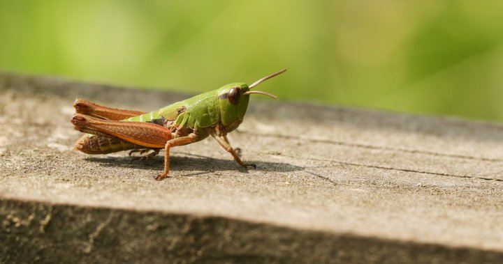 Booming grasshopper populations destroying already beleaguered Prairie crops