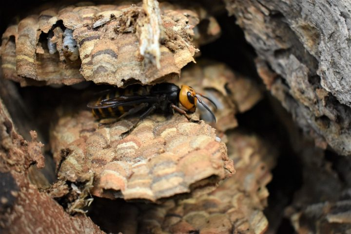 A nest of so-called 'murder hornets' near the Canada-U.S. border has been eradicated.