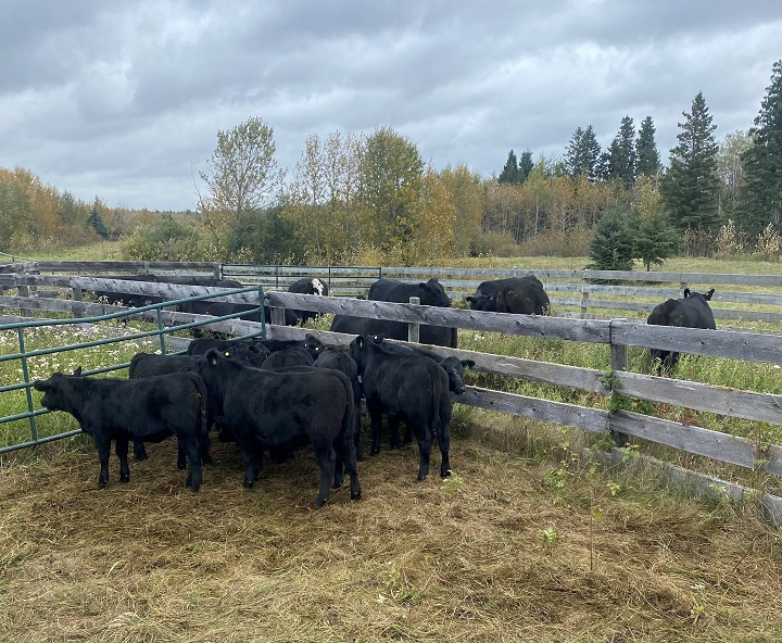 Two pure bred Black Angus bulls were located and seized from this herd pictured in Spiritwood, Sask.