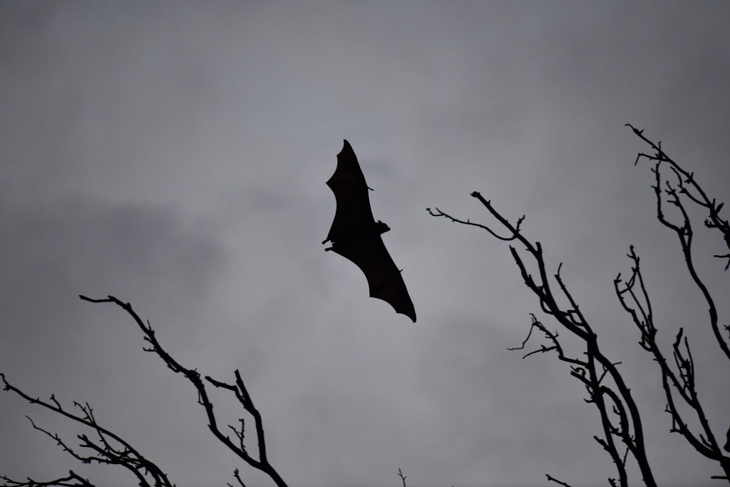 A bat flies between trees in India on May 23, 2018.