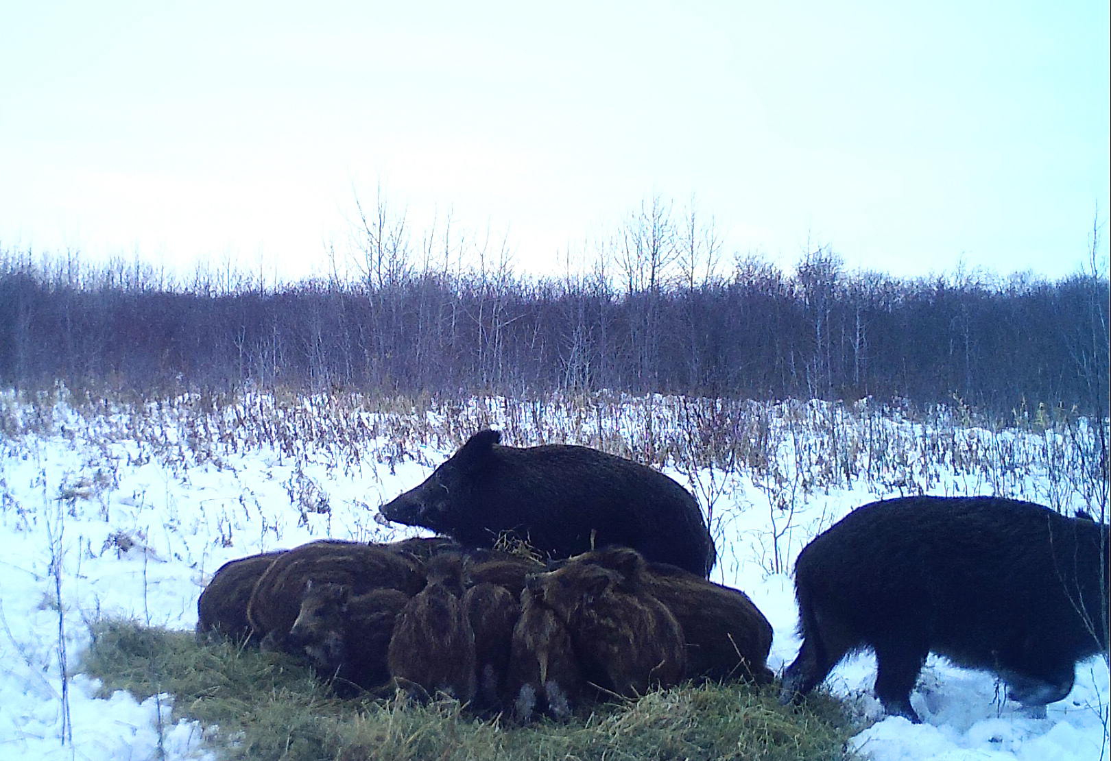 Wild pigs are shown at in this image provided by Ryan Brook at the University of Saskatchewan, taken using a wildlife camera.