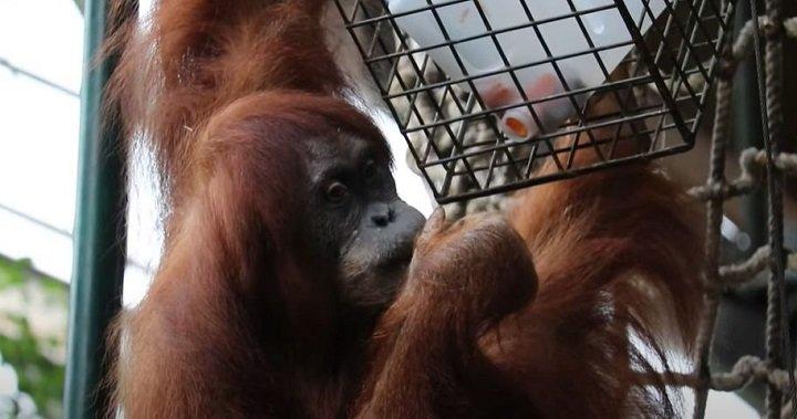 Toronto Zoo says endangered Sumatran orangutan is pregnant, expected to give birth in April – Toronto