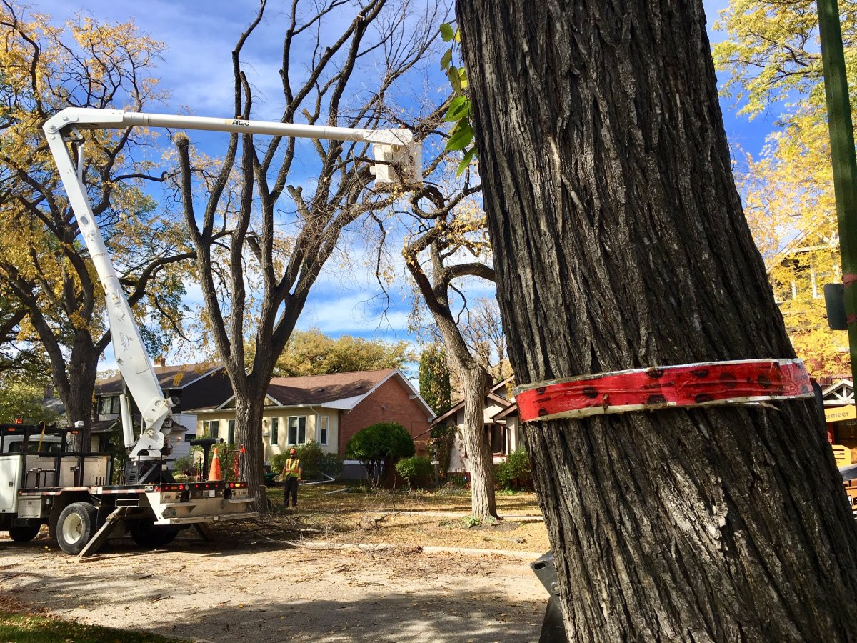 City crews remove a diseased tree in Winnipeg. The city is currently looking for feedback from Winnipeggers on a long-term urban forest strategy.